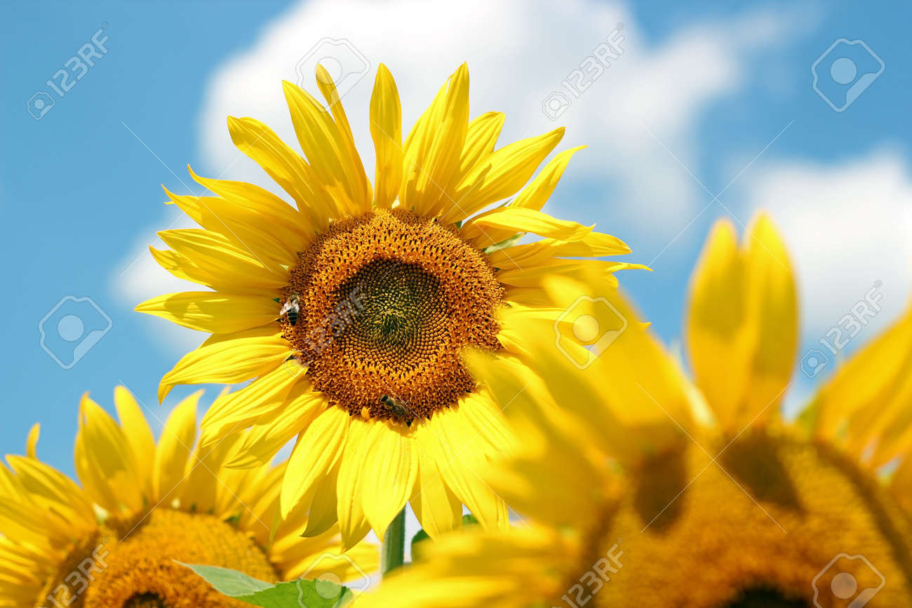 Portrait of a sunflower in the field - 12929079
