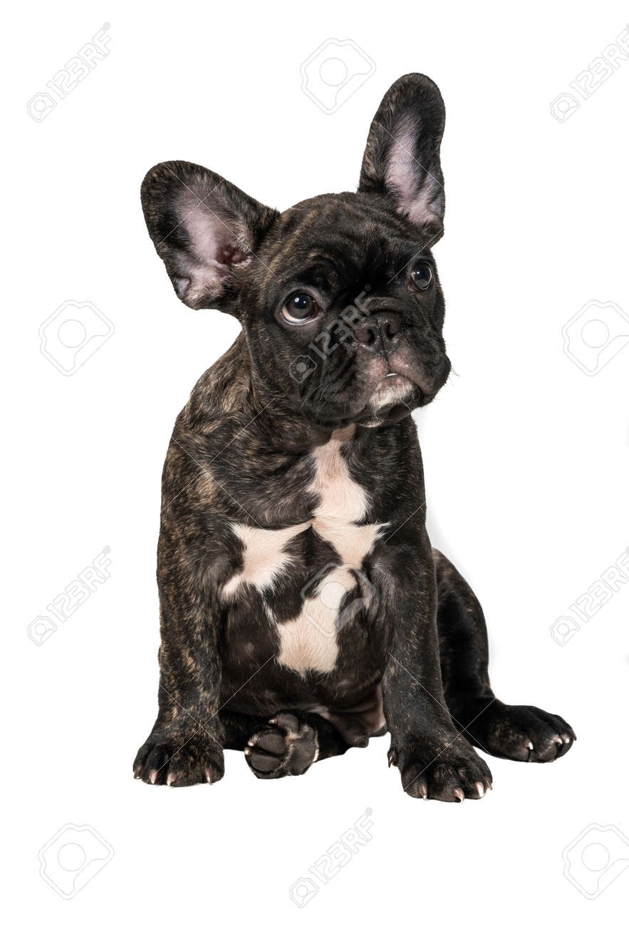 Close up of Brindle French bulldog puppy standing isolated on white background. - 148412402