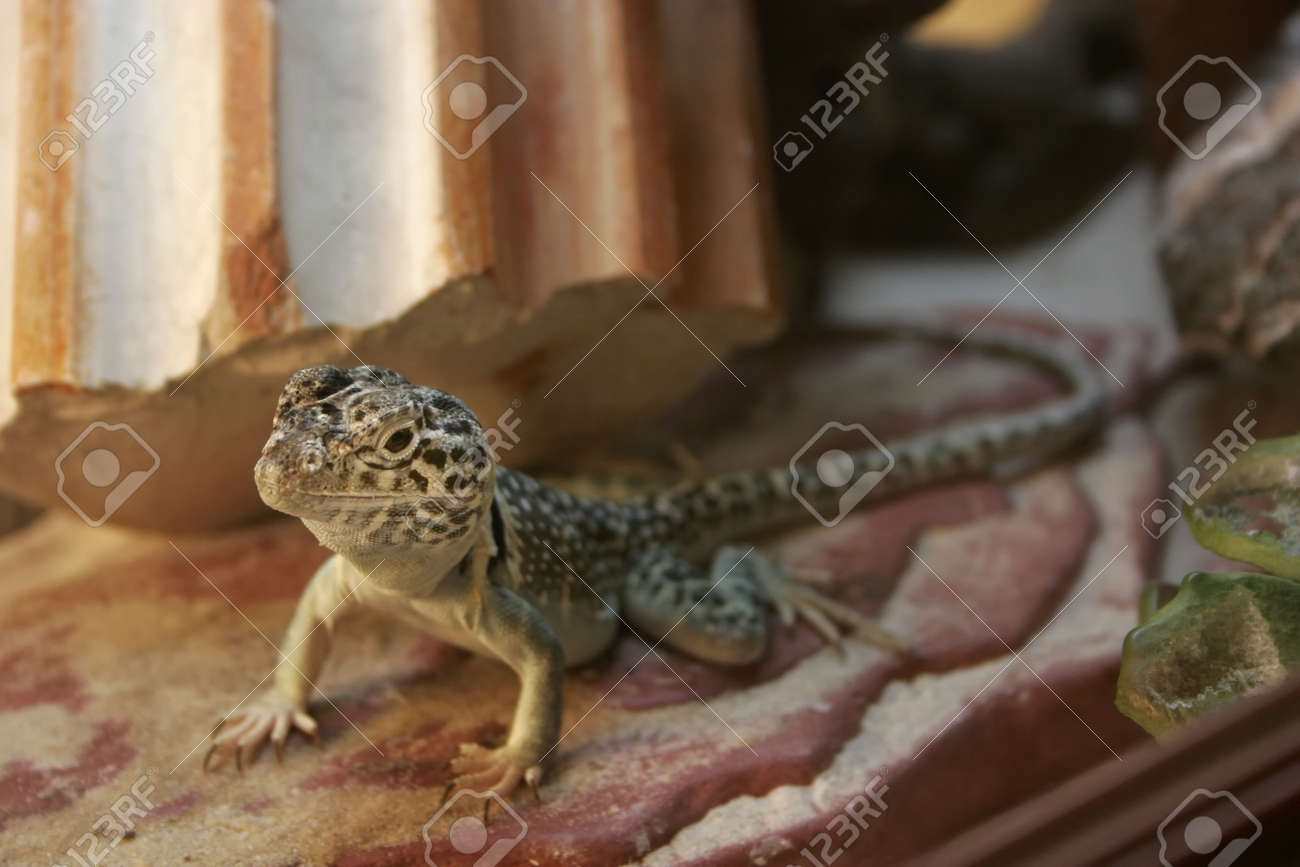 A Small Yellow Brown Lizard In A Terrarium Stock Photo Picture And