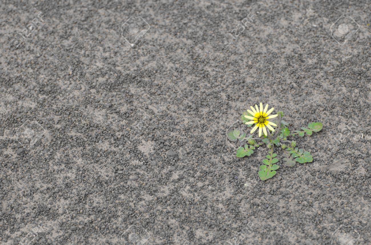 single yellow flower surviving drought on arid barren soil in
