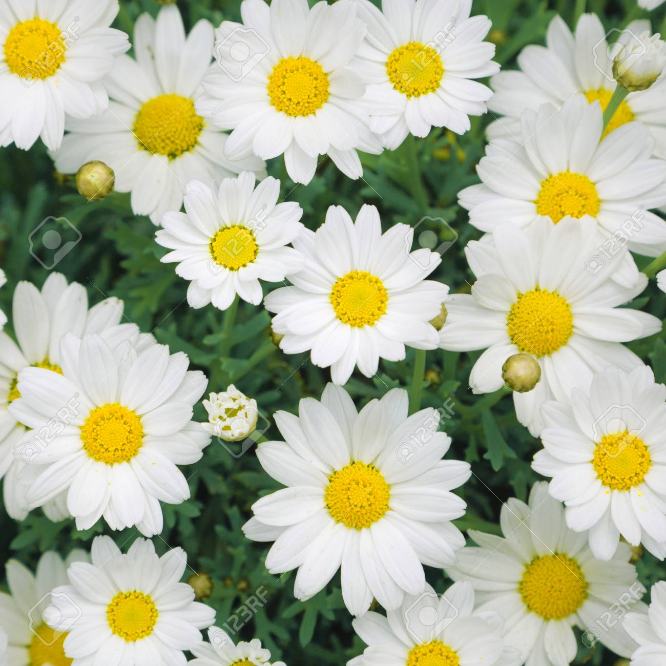 Lovely Sunny Blossom Daisy Flowers Background Beautiful View