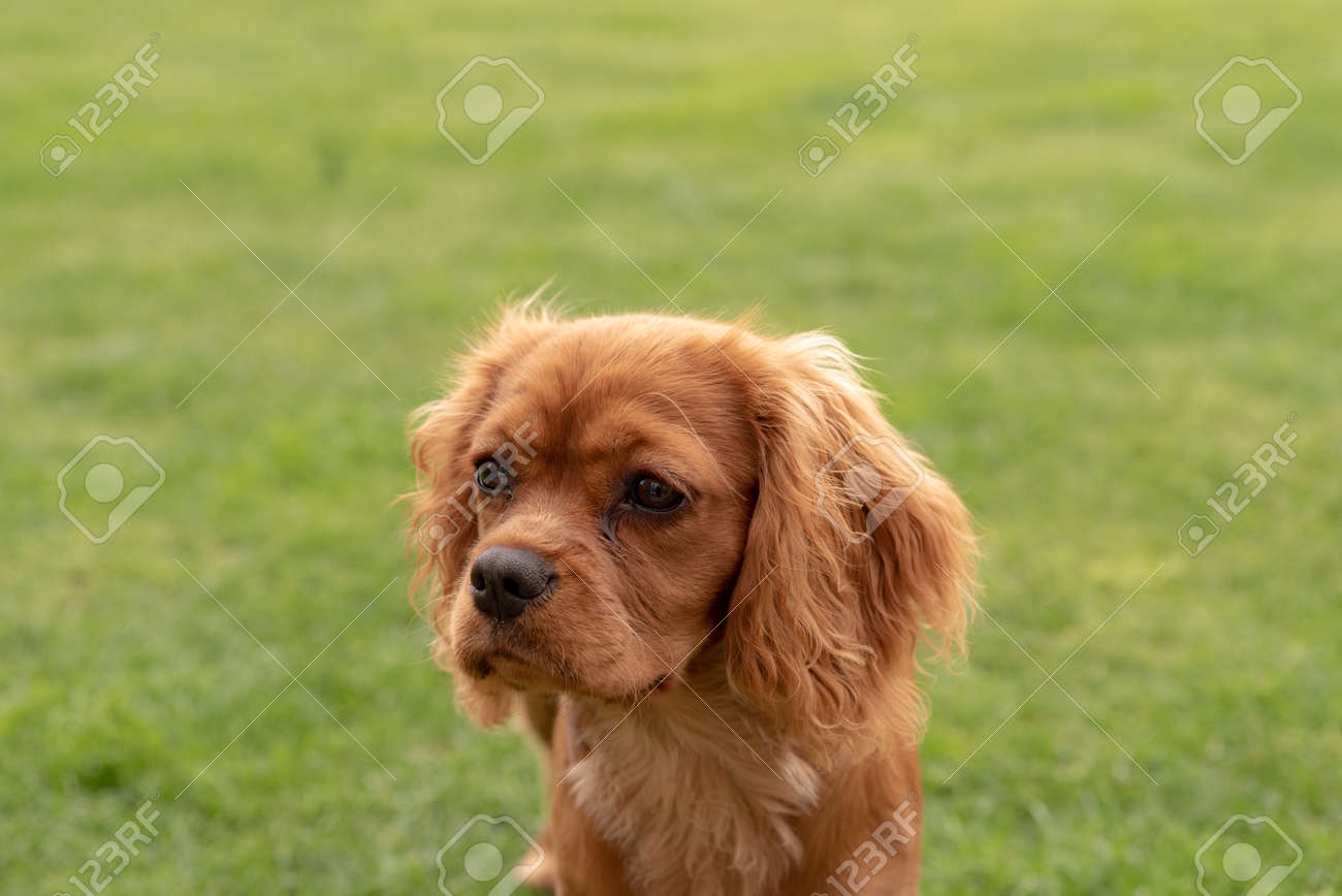 A Closeup Profile Shot Of A Single Isolated Ruby Cavalier King Stock Photo Picture And Royalty Free Image Image 123435878