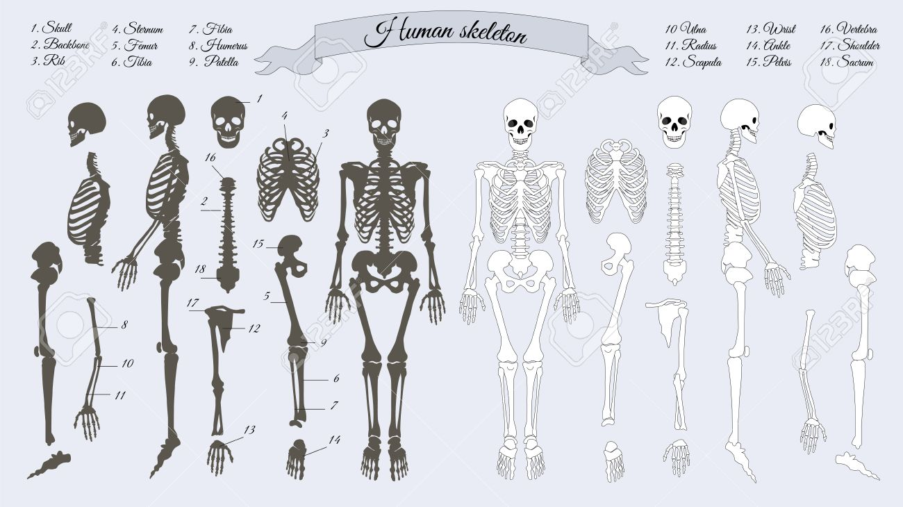 Human Skeleton White And Black Names Of Peples Bones Skull