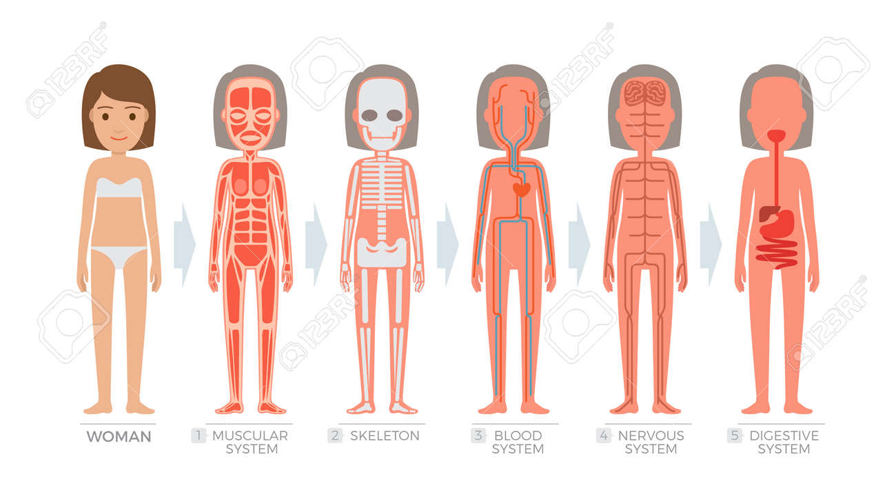 Woman Anatomy System And Structure Of Human Body Royalty Free ...