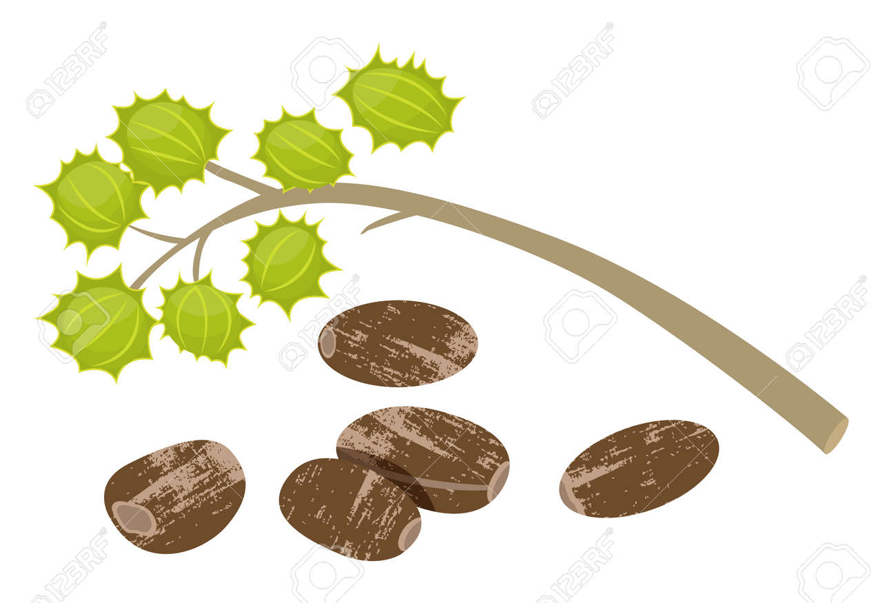 Castor Beans Ricinus Communis Isolated Icon Vector Castor Oil Royalty Free Cliparts Vectors And Stock Illustration Image 143617069