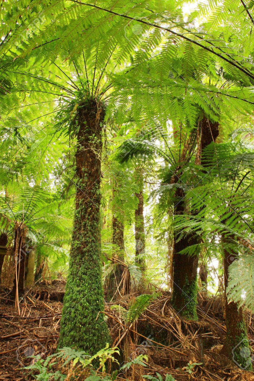 Tree ferns in a cool temperate rainforest in Victoria, Australia. Stock Photo - 2066697