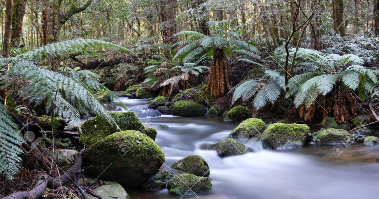 Panorama of river in a rainforest of ancient myrtle beech trees and tree ferns.  A bridge is constructed from a fallen tree.  Yarra Ranges, Victoria, Australia Stock Photo - 3499444