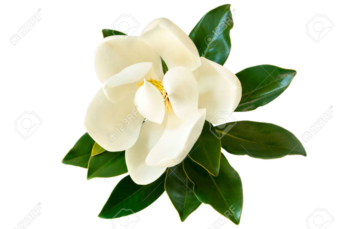 Little Gem magnolia. Dwarf variety of Magnolia Grandiflora. Also called Evergreen, Bull Bay, Laurel and Loblolly. Close up image of flower with leaves isolated on white background. - 68550307