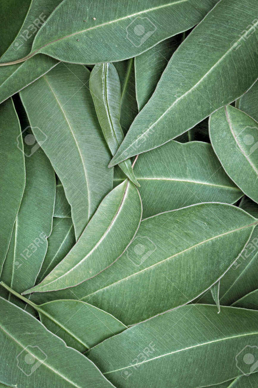 Eucalyptus leaves full frame background, top view. Large file. - 71475753