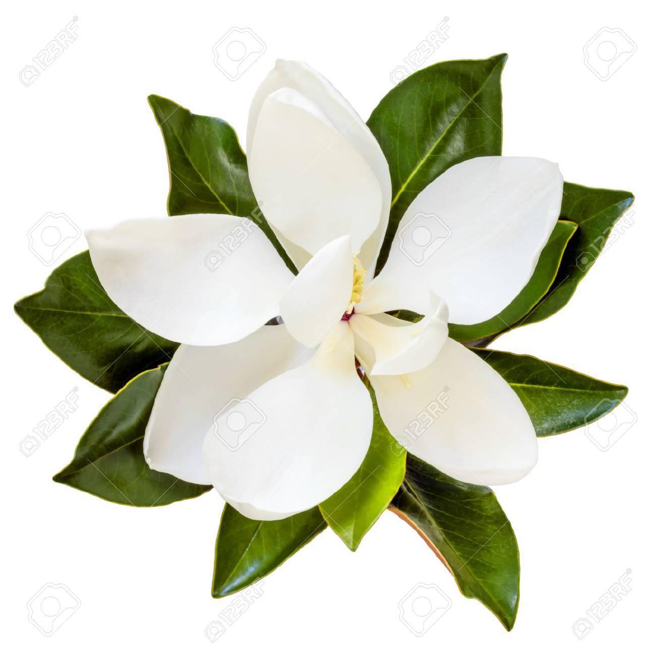 Magnolia flower, top view, isolated on white. Dwarf variety of magnolia grandiflora, Little Gem. - 75683963