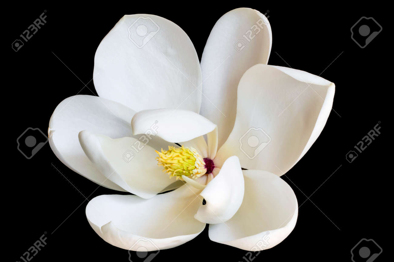 White Magnolia Flower Isolated On Black Dwarf Variety Of Evergreen