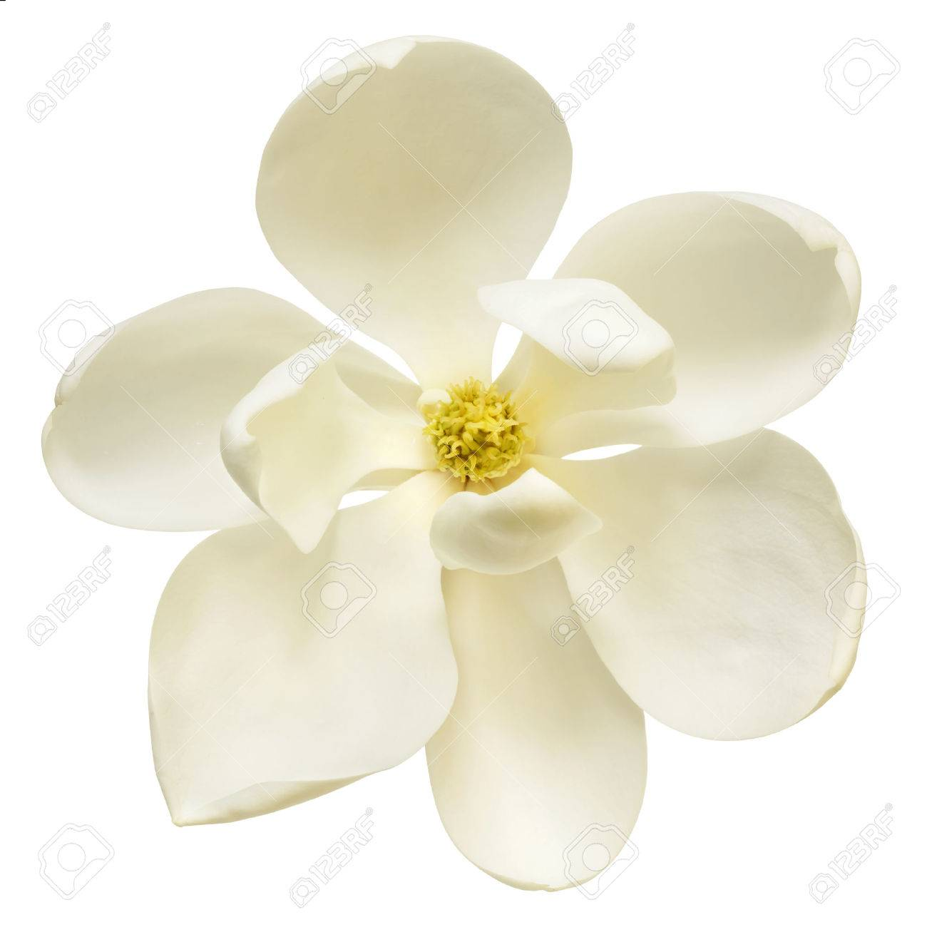 White Magnolia Flower Isolated Top View Stock Photo Picture And