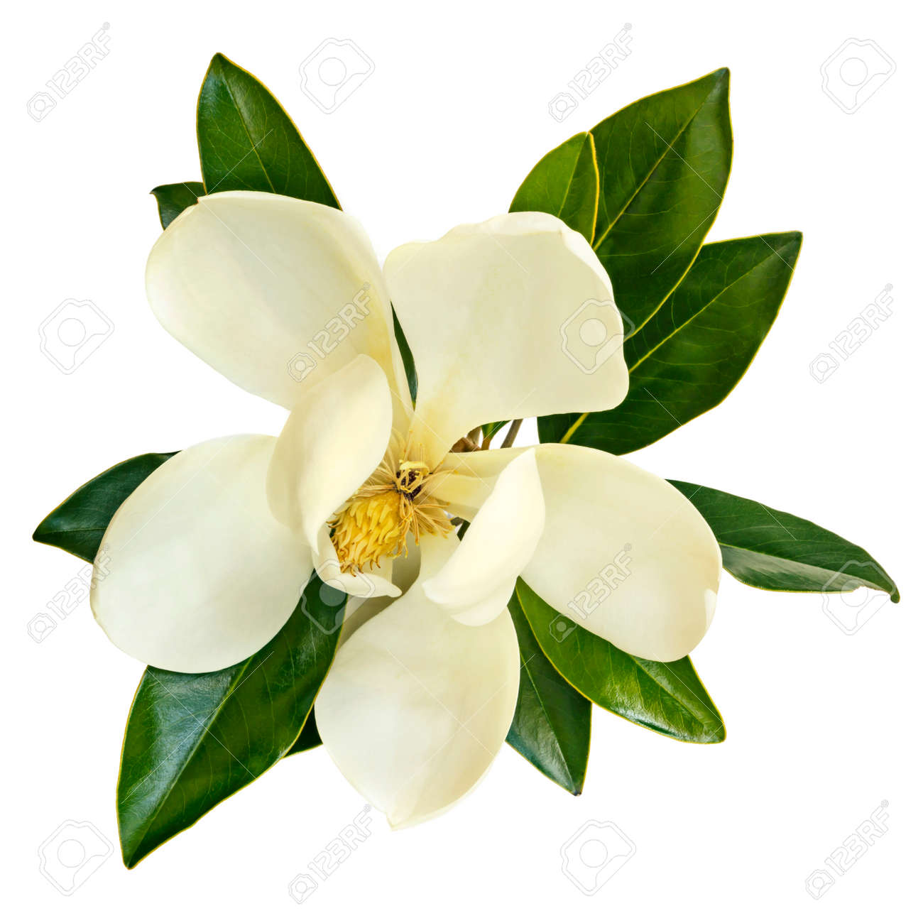 Magnolia flower, top view, isolated on white. Little Gem evergreen variety. - 92702710
