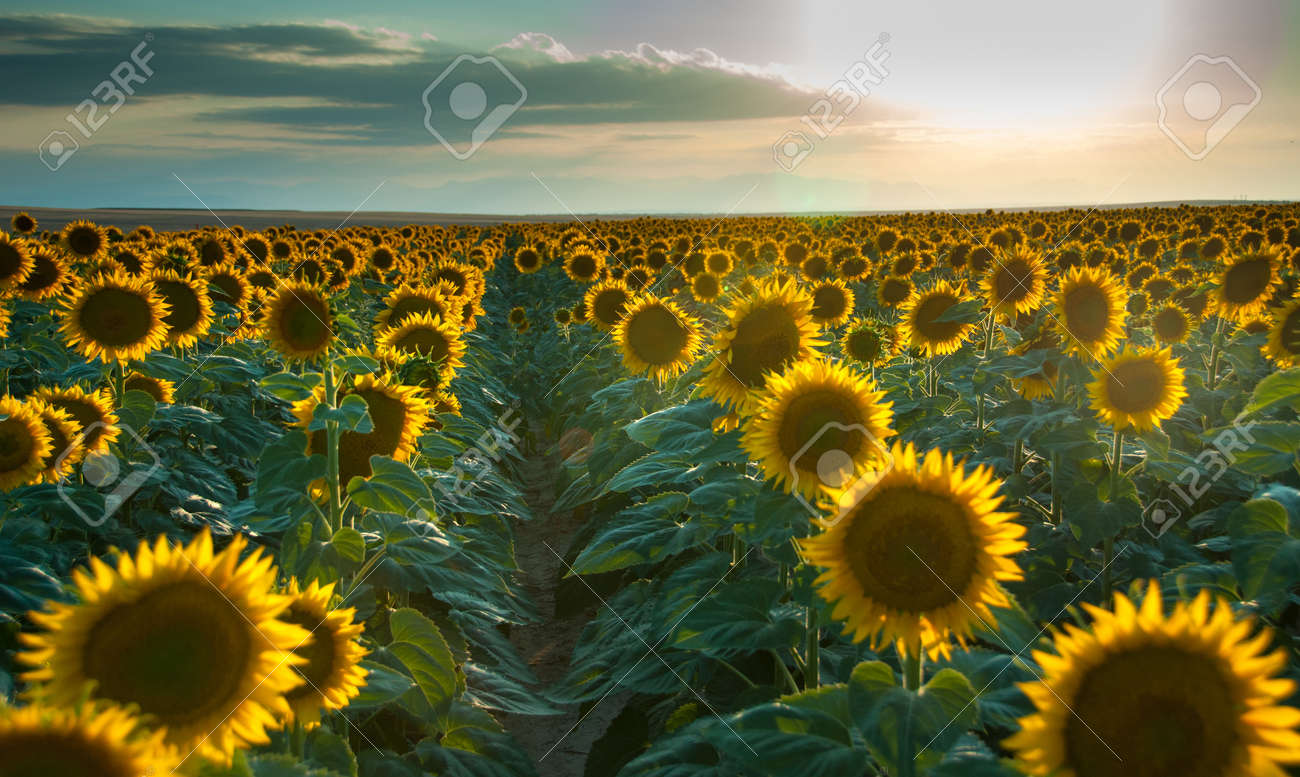 Rows of large sunflowers in a field at sunset Stock Photo - 19427186