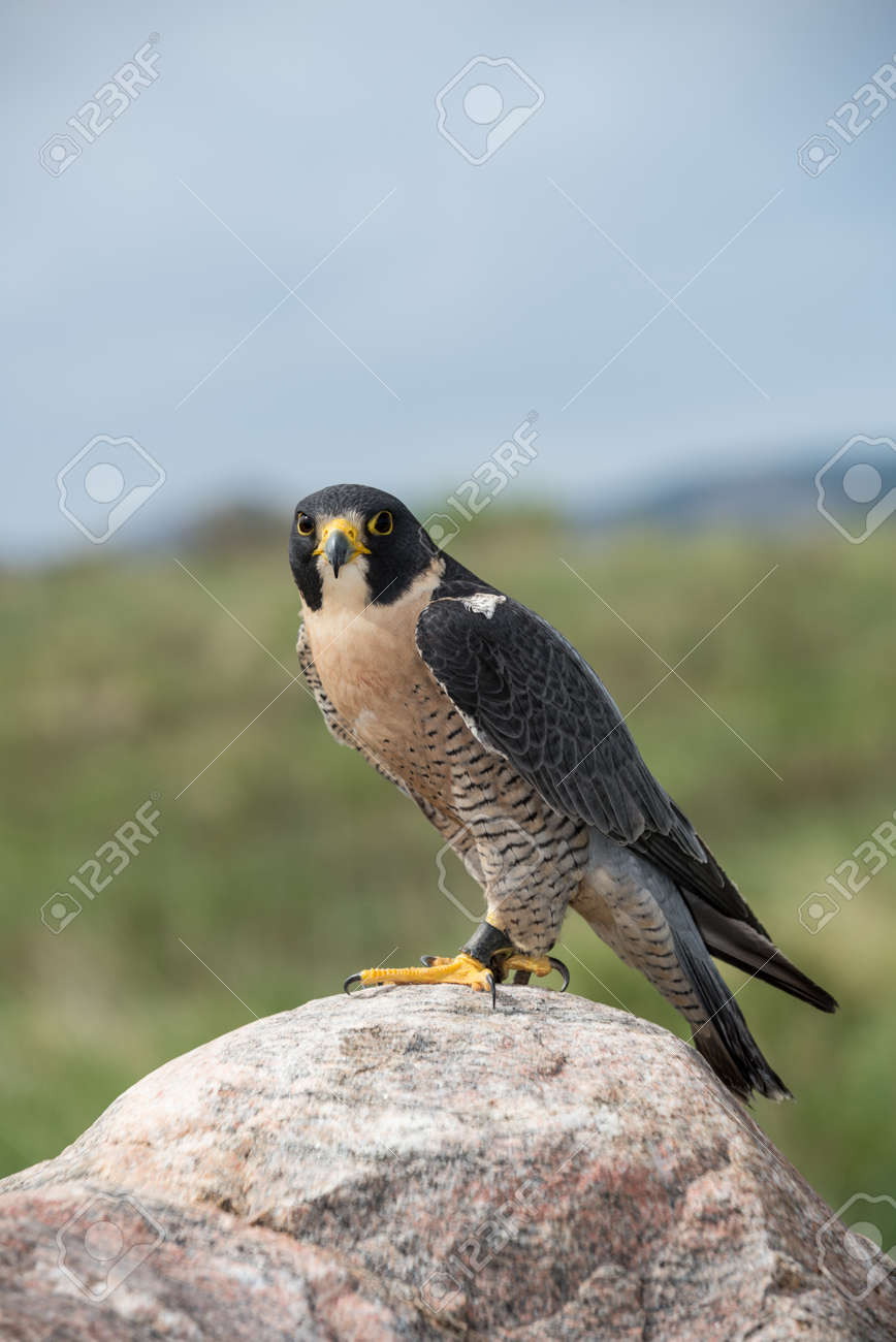 Peregrine Falcon perched on a rock Stock Photo - 22420425