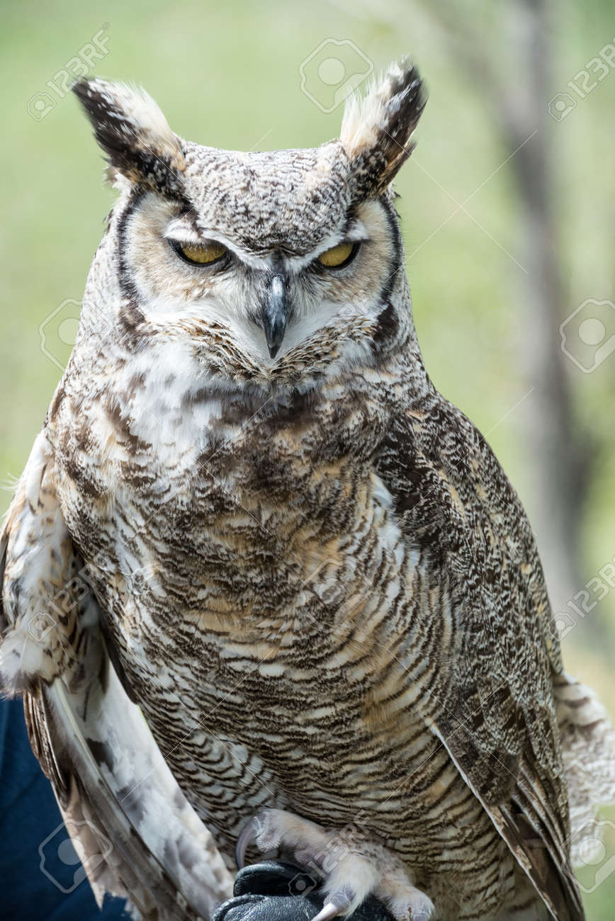 Great Horned Owl looking straight ahead Stock Photo - 22420444
