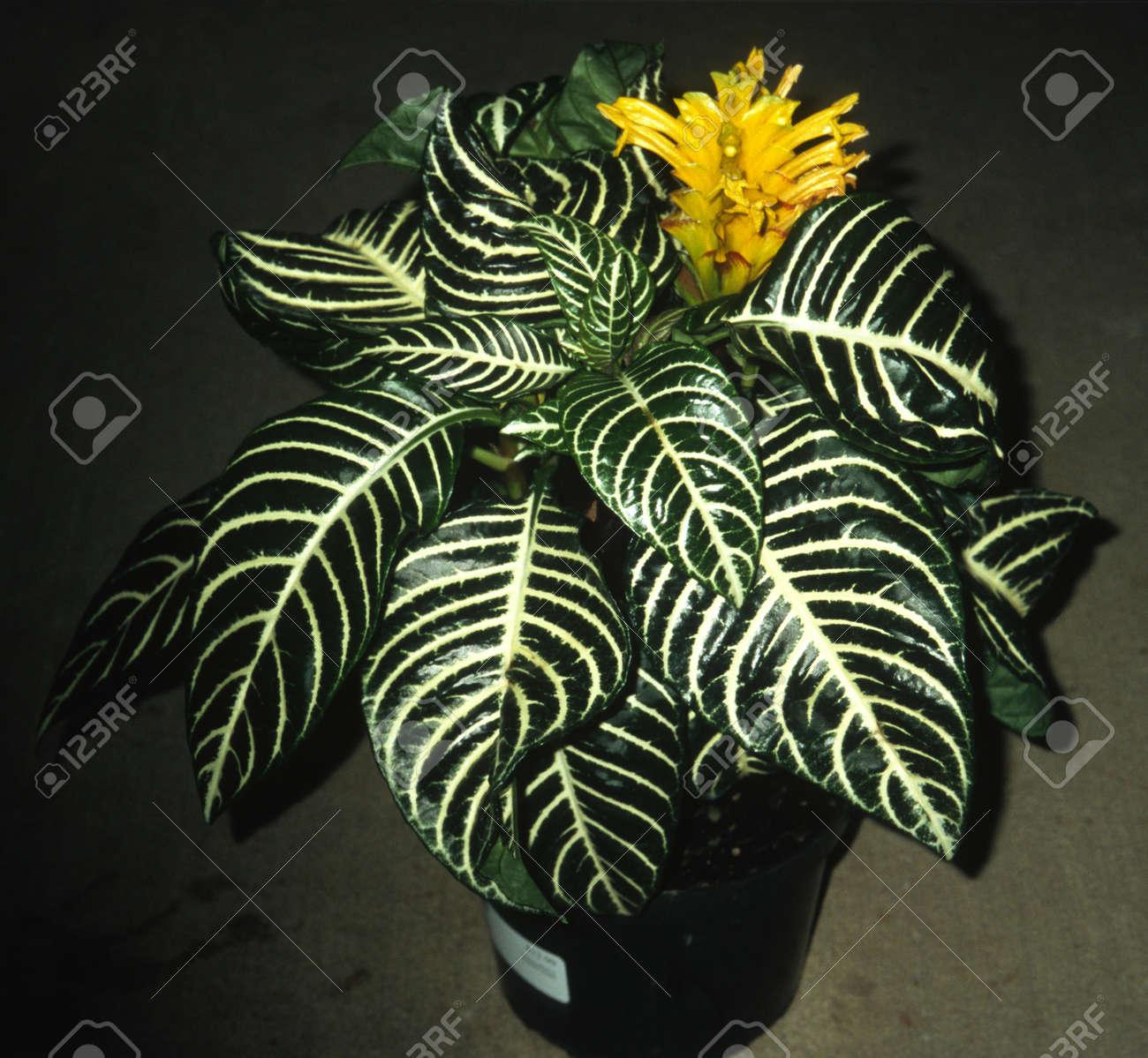 Aphelandra squarrosa - Ze Plant on