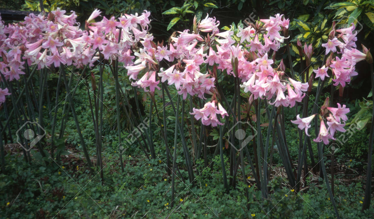 Naked Lady Flowers Amaryllis Belladona Stock Photo Picture And