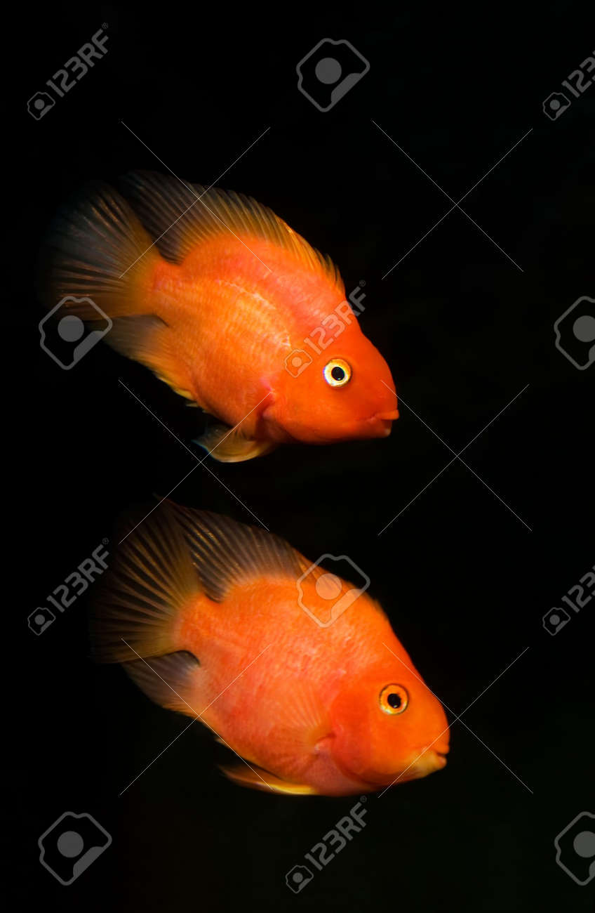 The Blood parrot ,also known as bloody parrot and blood parrot fish, is a hybrid cichlid. Most commonly found in the trade is the Red Blood Parrot with bright orange in coloration.The fish was first created in Taiwan in around 1986. Its parentage is unkno Stock Photo - 4531341
