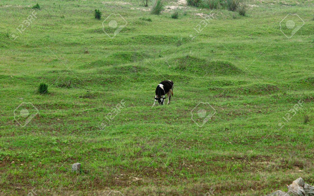 Cow grazing on pasture in China Stock Photo - 4942947