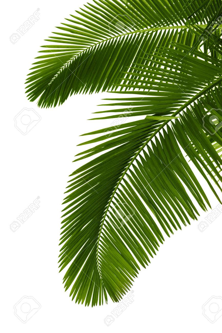 Green palm tree on white background Stock Photo - 7938765