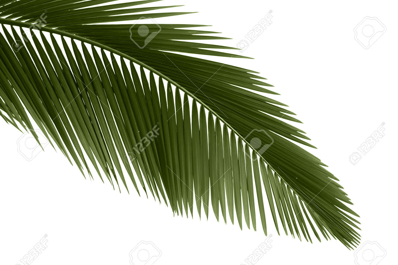 Green palm leaves isolated on white background,professional process from 16bit RAW and Prophoto RGB color profile used for output JPG file Stock Photo - 8347664