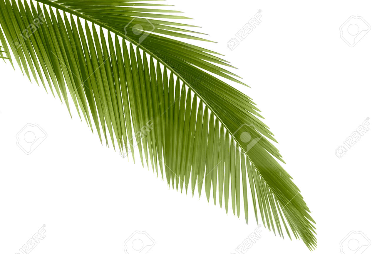 Part of palm leaf on white background Stock Photo - 9585697