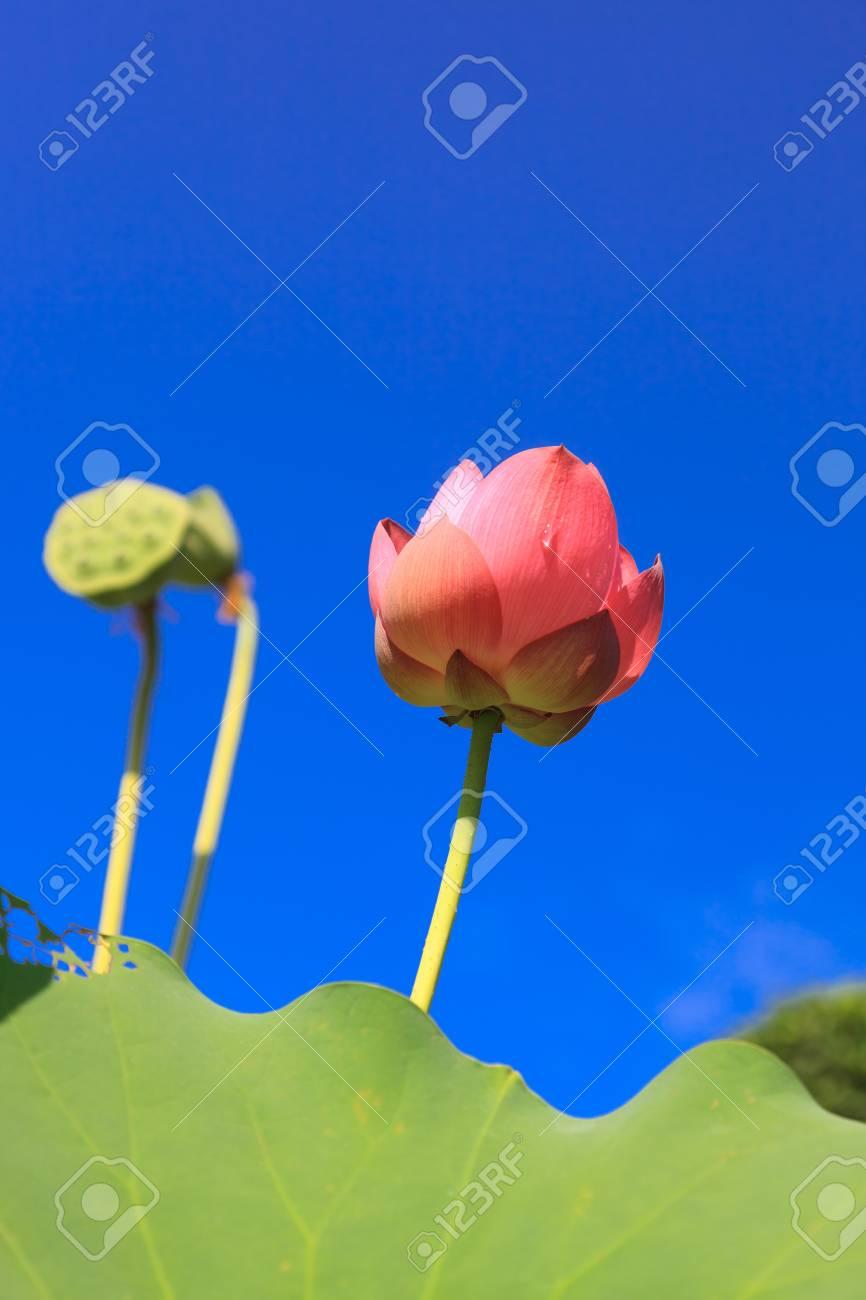 Lotus against perfect sky Stock Photo - 10203750