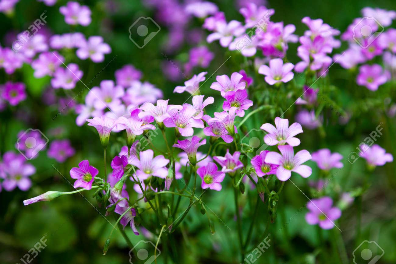 Pink oxalis Oxalis corymbosa  in garden Stock Photo - 13564848