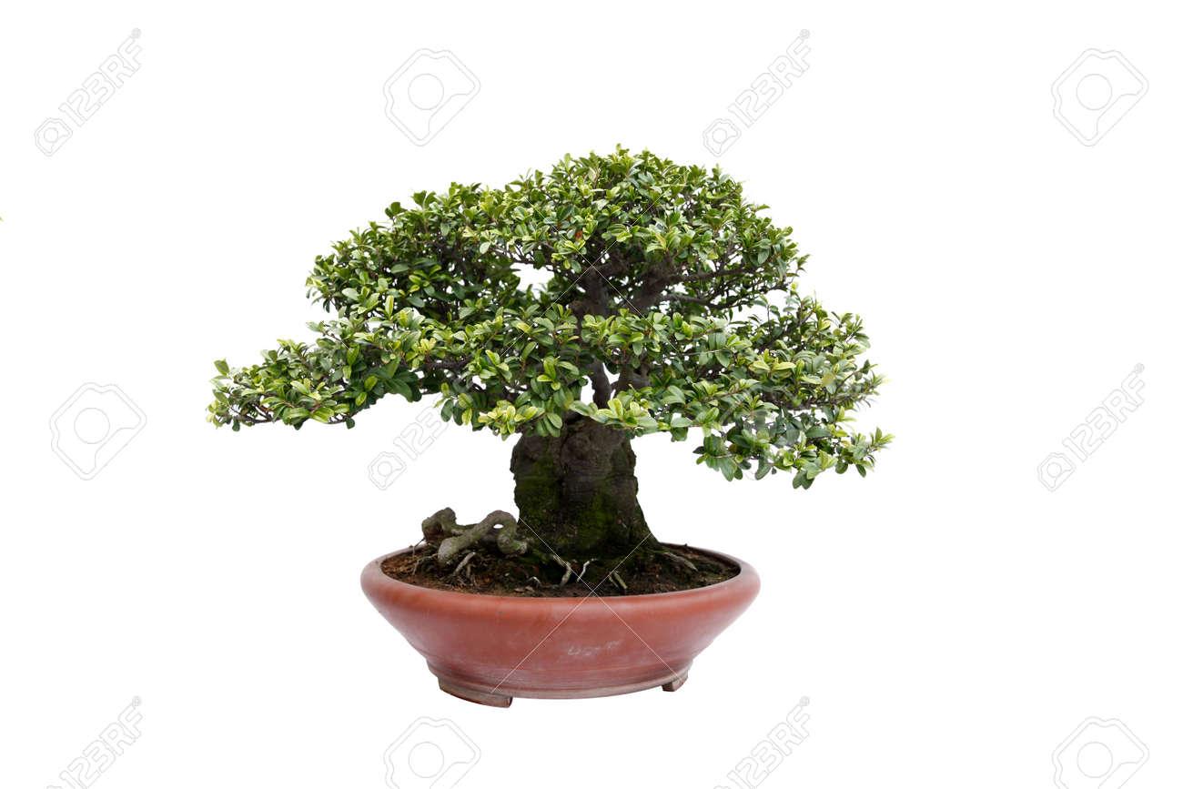 A small bonsai tree in a ceramic pot informal upright styleisolated a small bonsai tree in a ceramic pot informal upright styleisolated on a white mightylinksfo