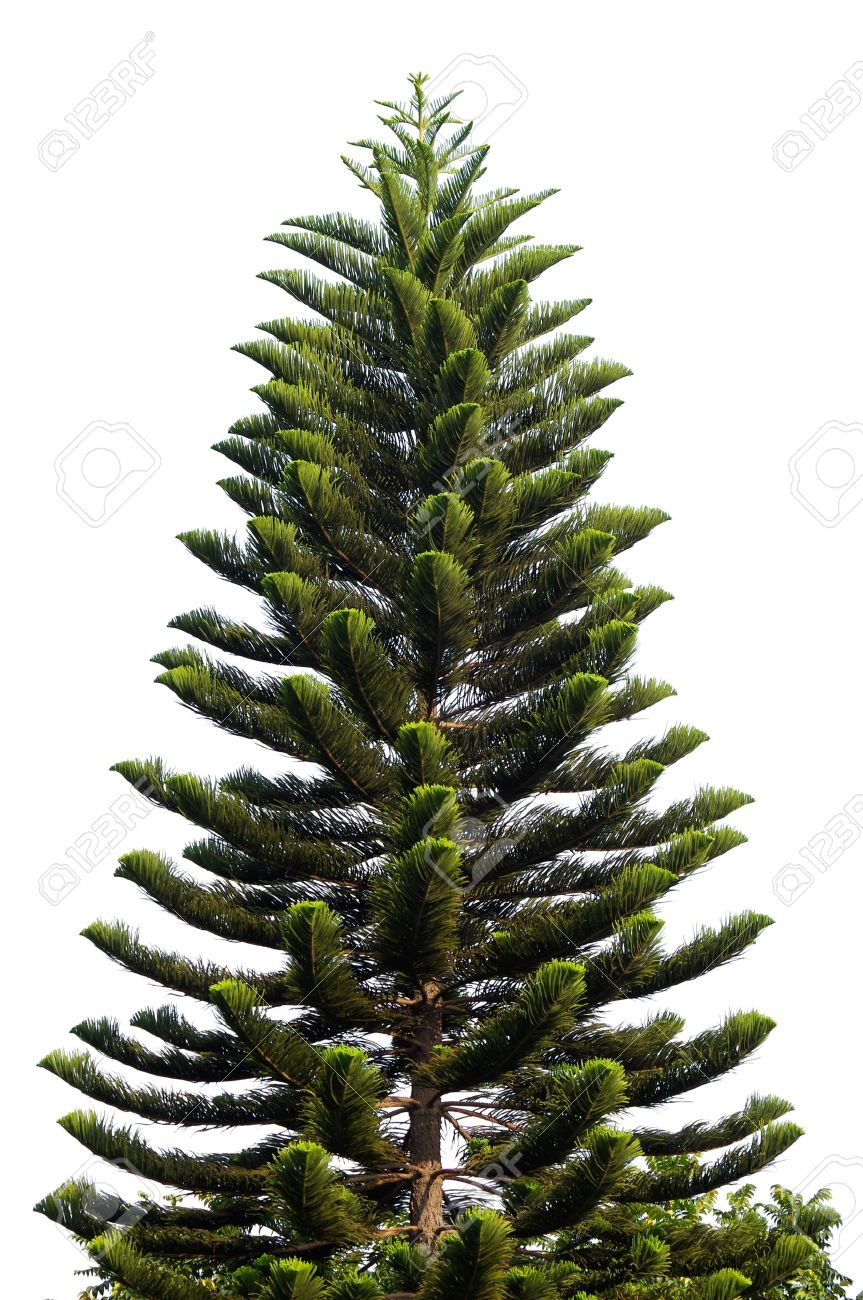 christmas tree isolated on a white background without any decorations as a festive evergreen single plant - Christmas Tree Plant
