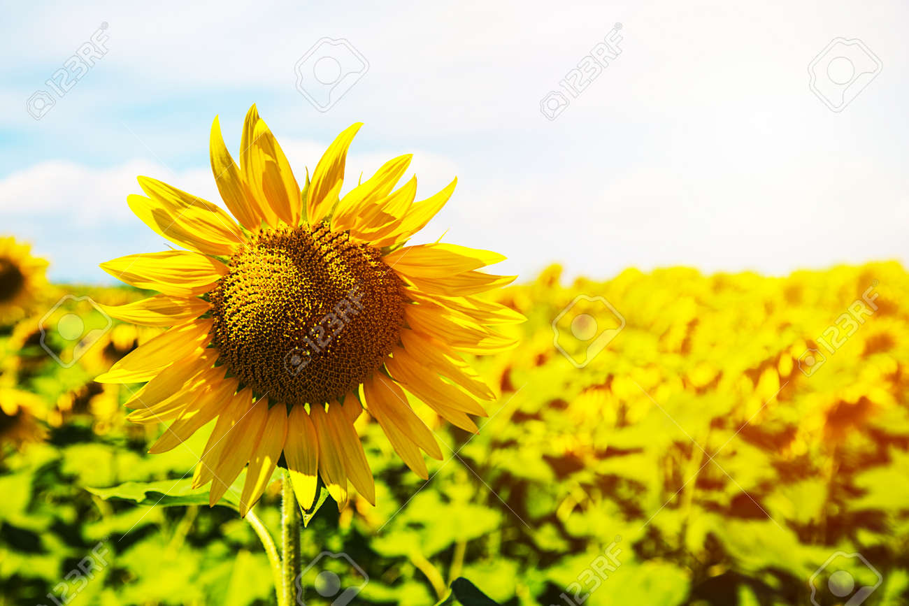 Bright yellow sunflowers and sun. Field of sunflower background with copy space. Archivio Fotografico - 96715412