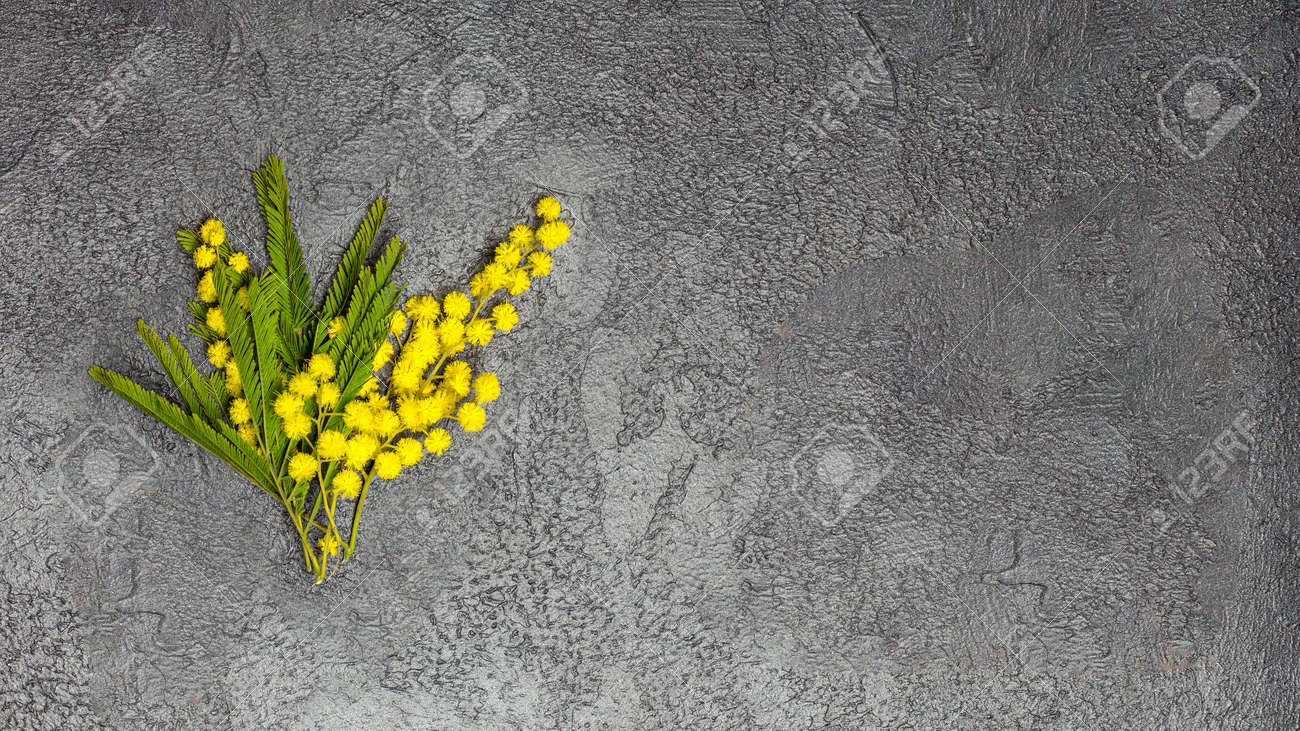 Flat lay banner with branch of yellow mimosa flower - 167194010