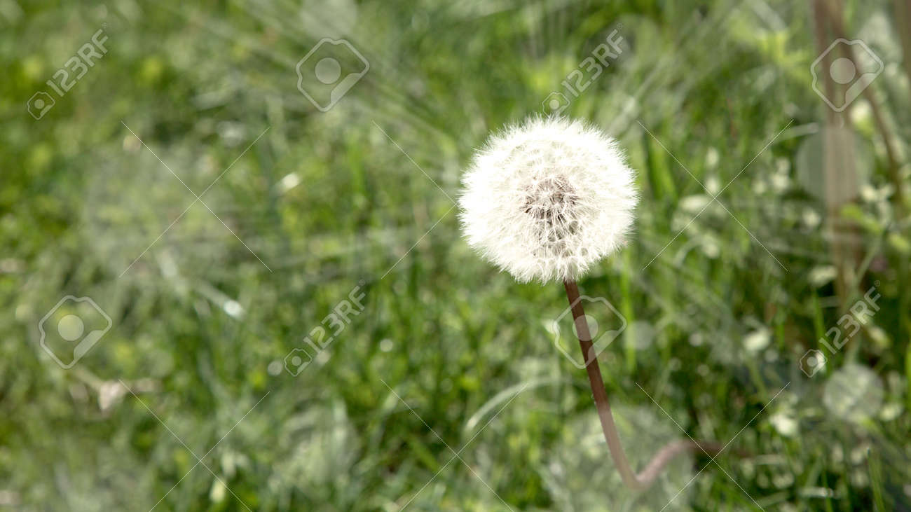 Dandelion in a field with sun rays - 167779908