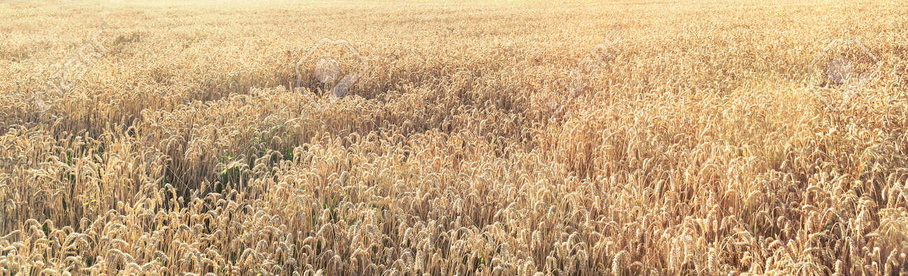 A field of ripe wheat with sun rays - 167779909