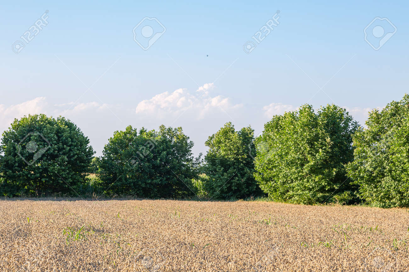 A field of ripe wheat with sun rays - 167779910