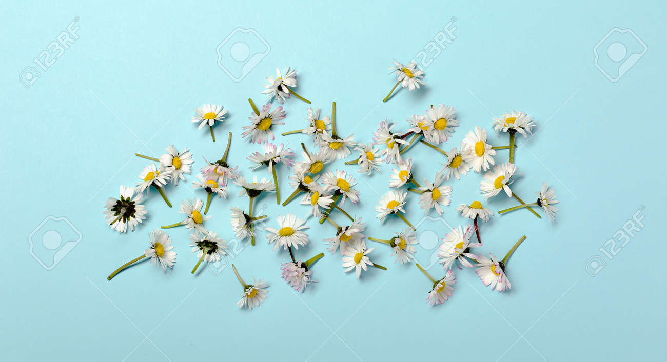 Pattern with fresh daisy flowers on blue pastel backround. - 173252544