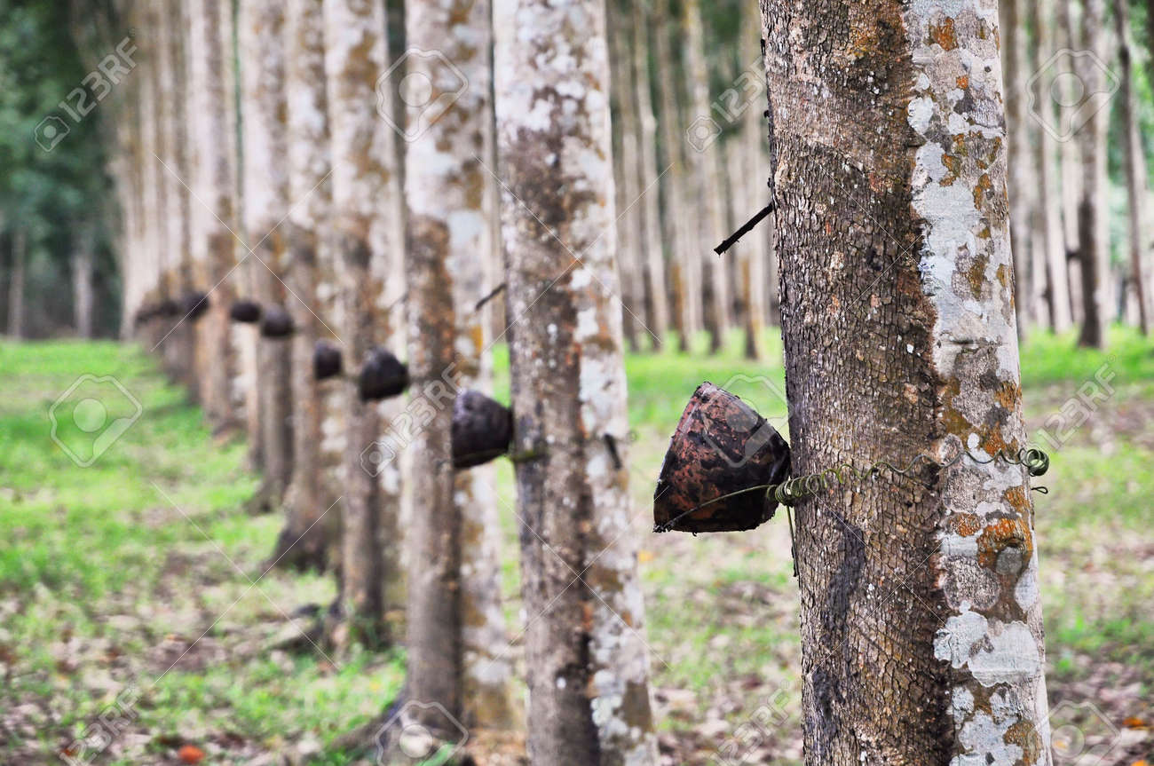 Tree Rubber Cup Line Stock Photo - 6876467