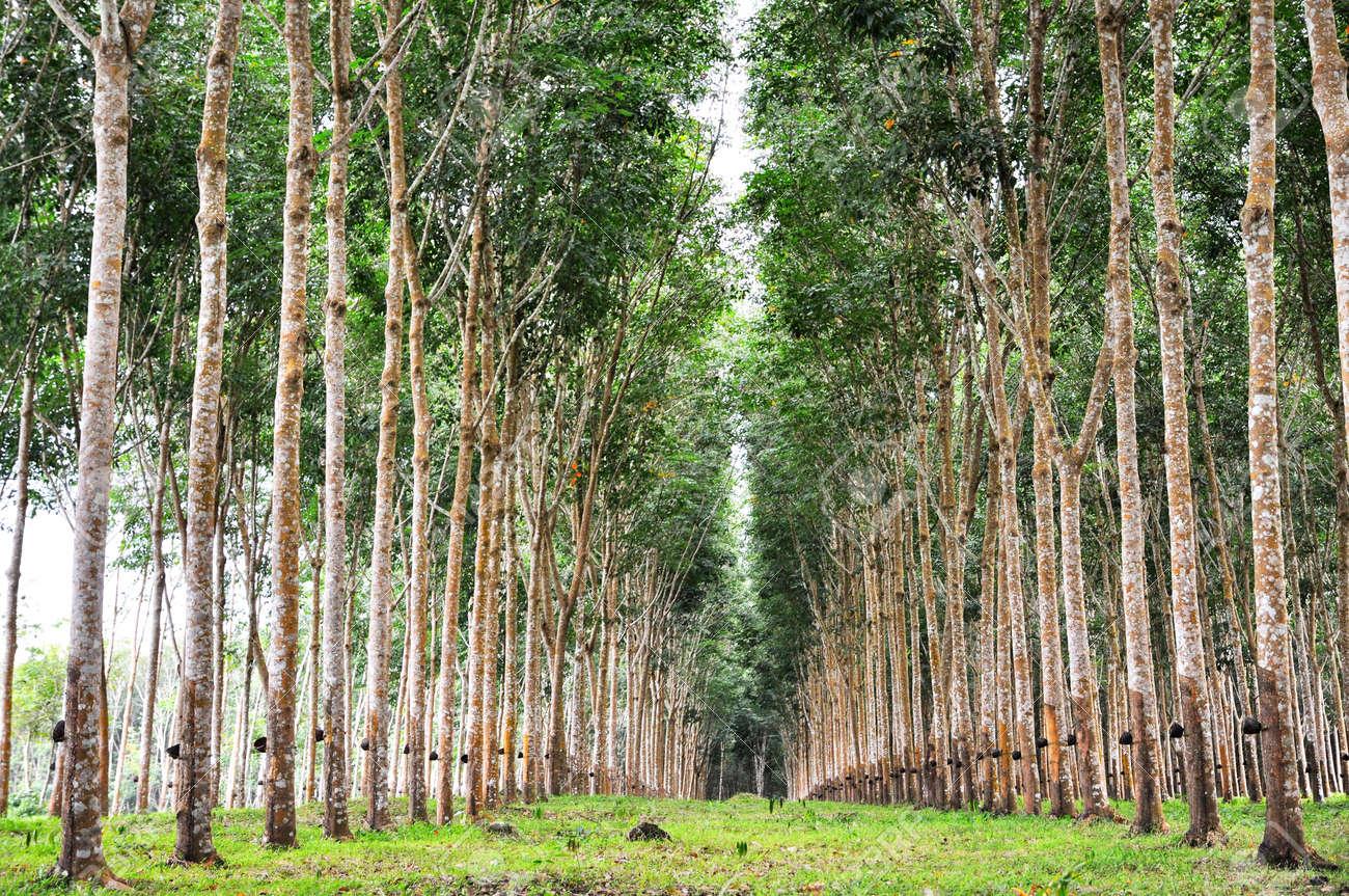 Tree Rubber Garden Line Stock Photo - 6876628