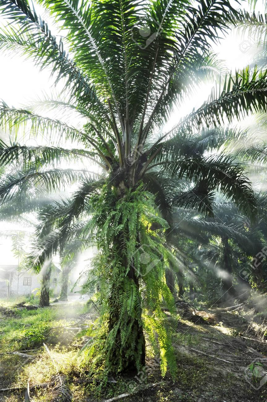 Palm Light Outdoor Fog Farm Day Stock Photo - 17355463