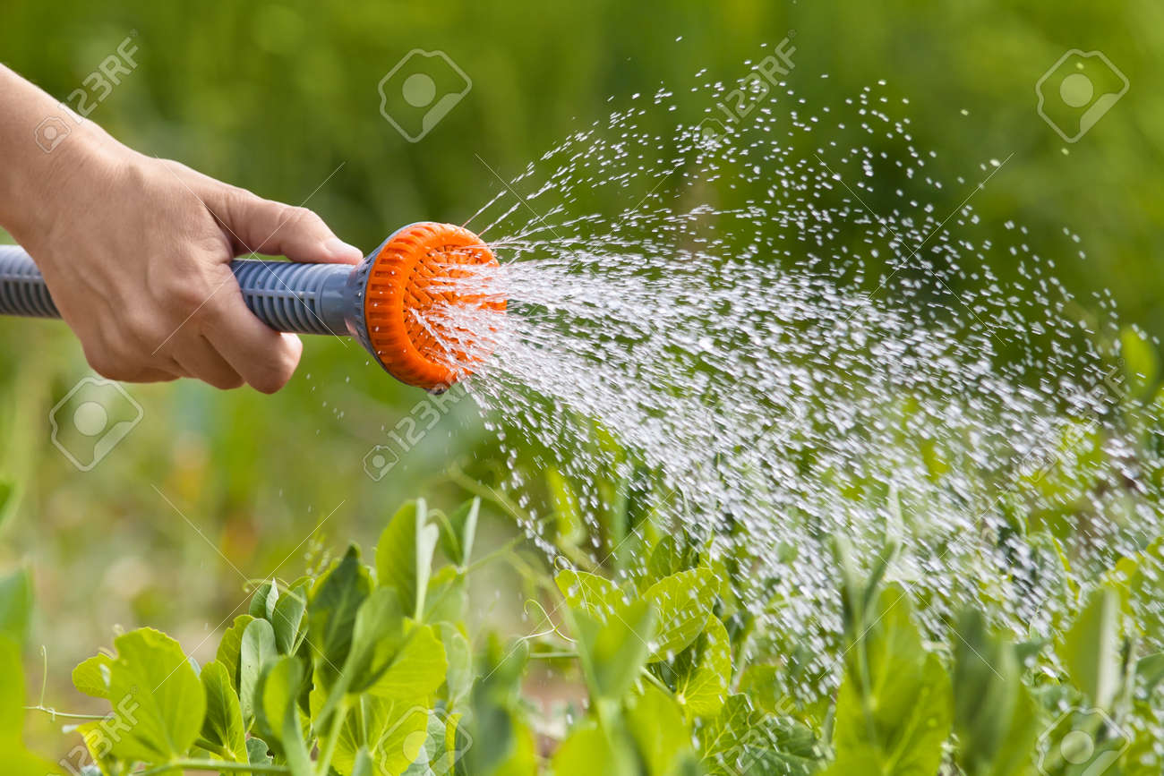 Hand Watering Green Peas In The Vegetable Garden, Closeup Stock Photo    65374805