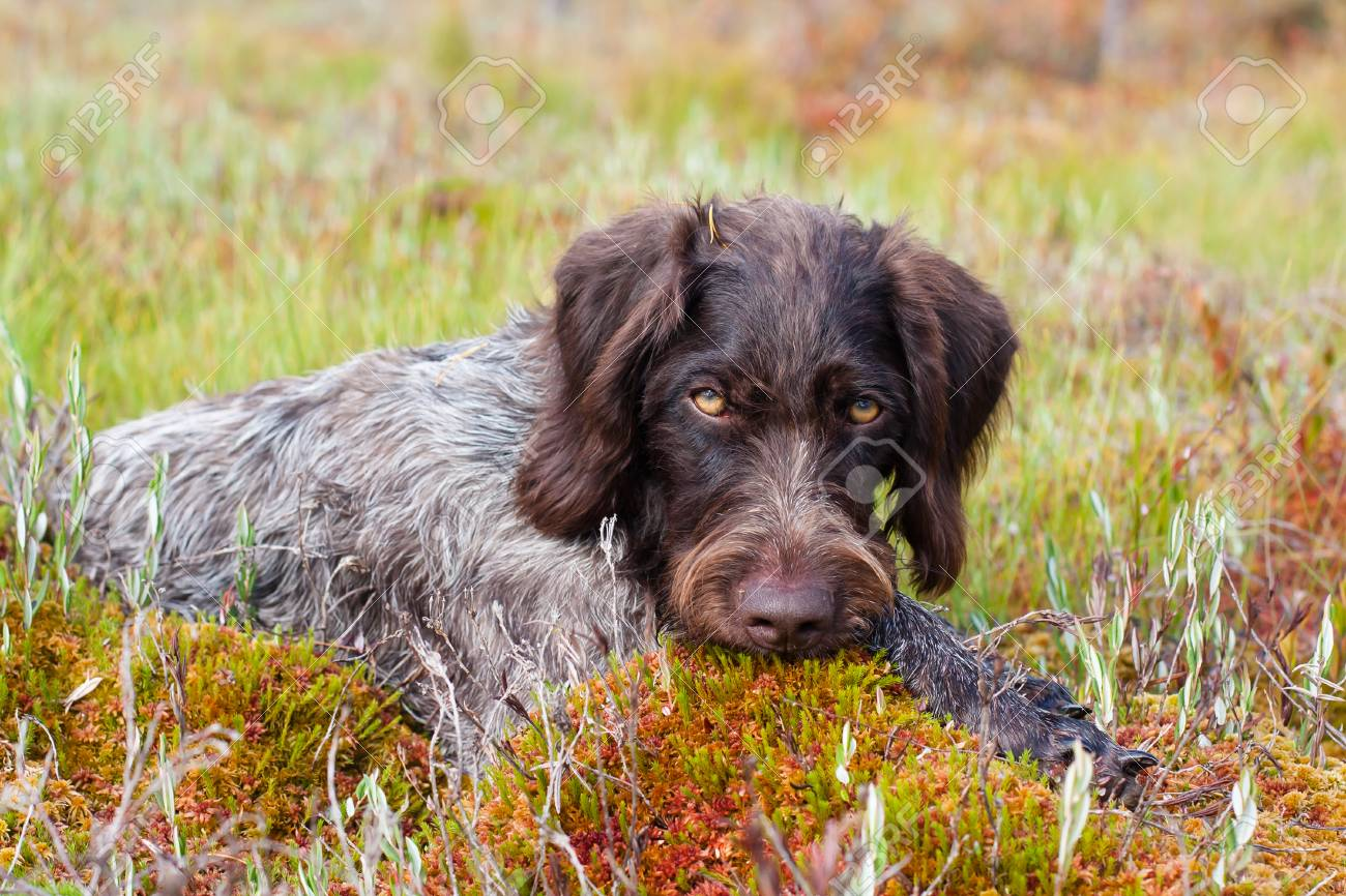 Portrait Of Hunting Dog German Wirehaired Pointer Outdoors Stock ...