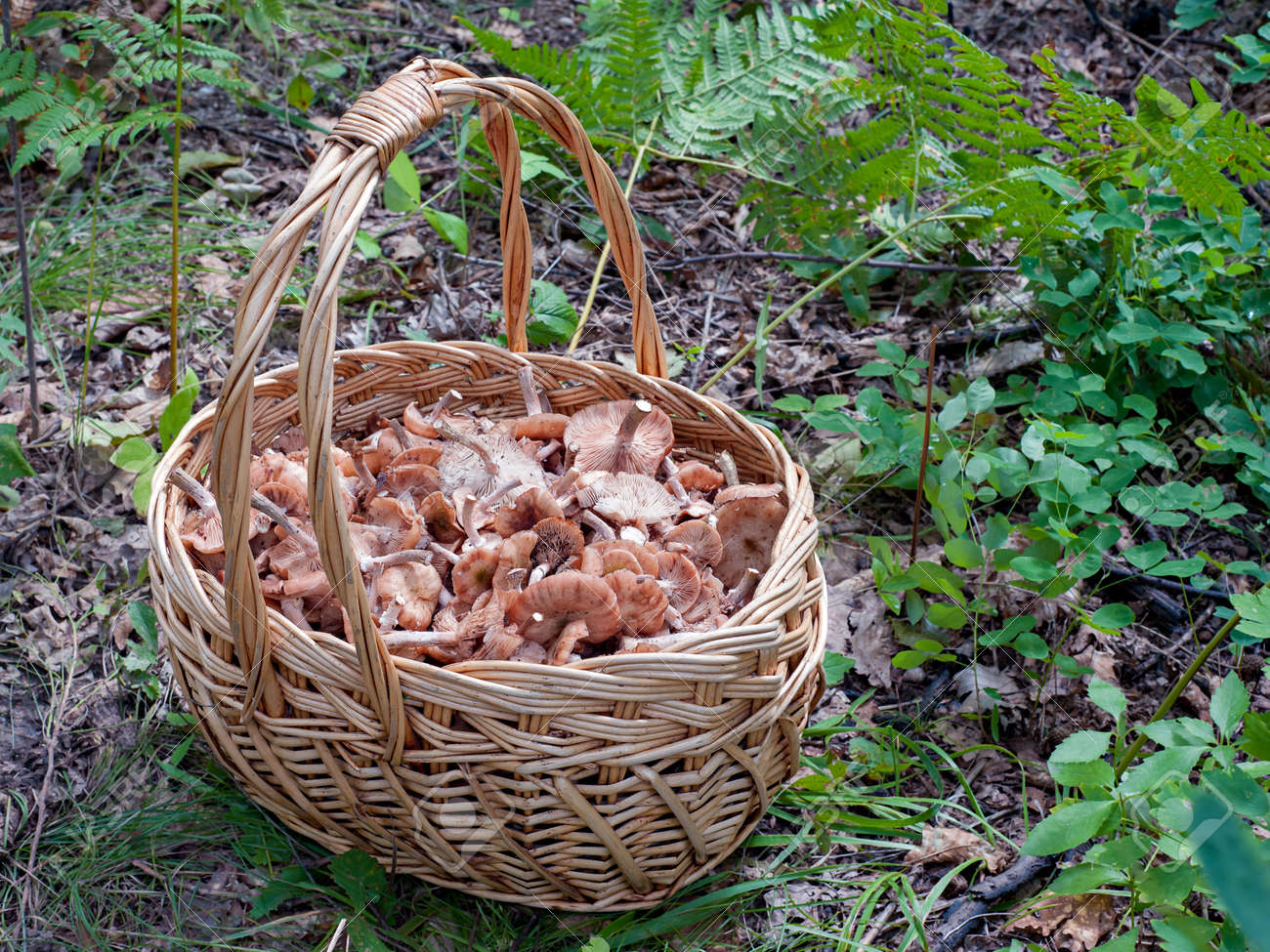 The basket of mushrooms in the autumn forest in summer day Stock Photo - 15016085