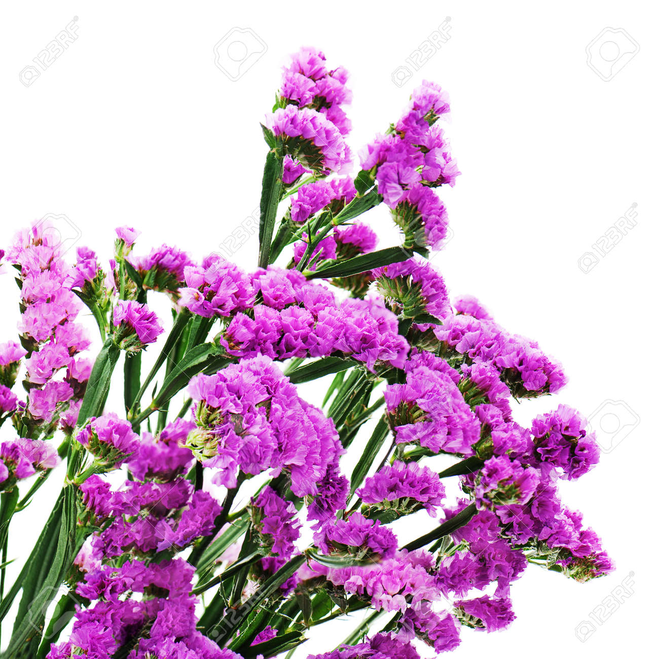 bouquet from purple statice flowers isolated on white background