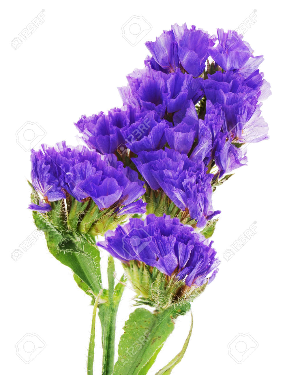 Macro Shot Of Purple Statice Flowers Isolated On White Background