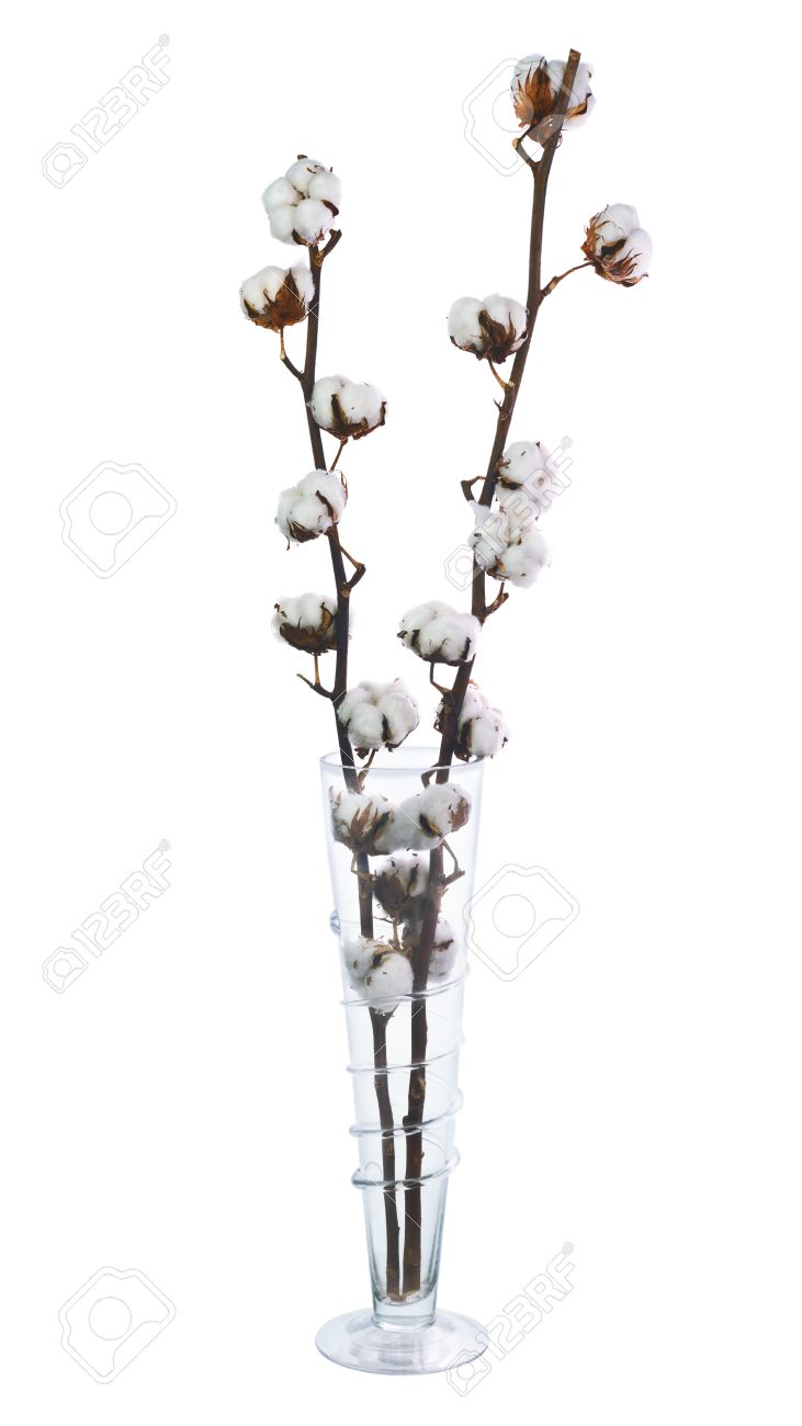 Cotton Plant With Bolls In Glass Vase Isolated On White Background Stock Photo Picture And Royalty Free Image Image 37697708