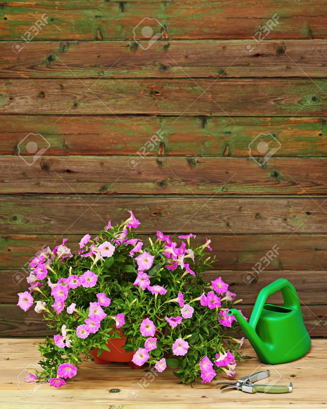 Pink Petunia Flowers In Flowerpot With Garden Accessories On Wooden  Background. Stock Photo   72828512