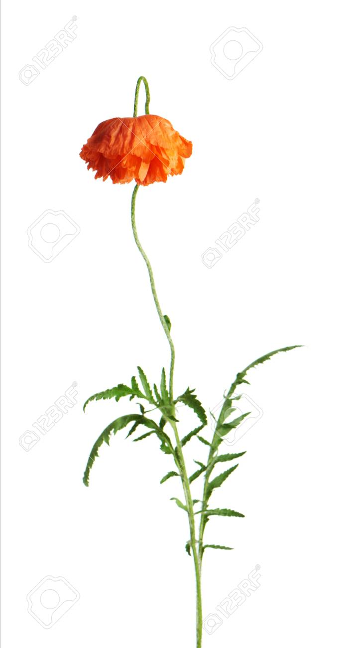 Single red poppy flower with green leaves isolated on white single red poppy flower with green leaves isolated on white background closeup stock photo mightylinksfo