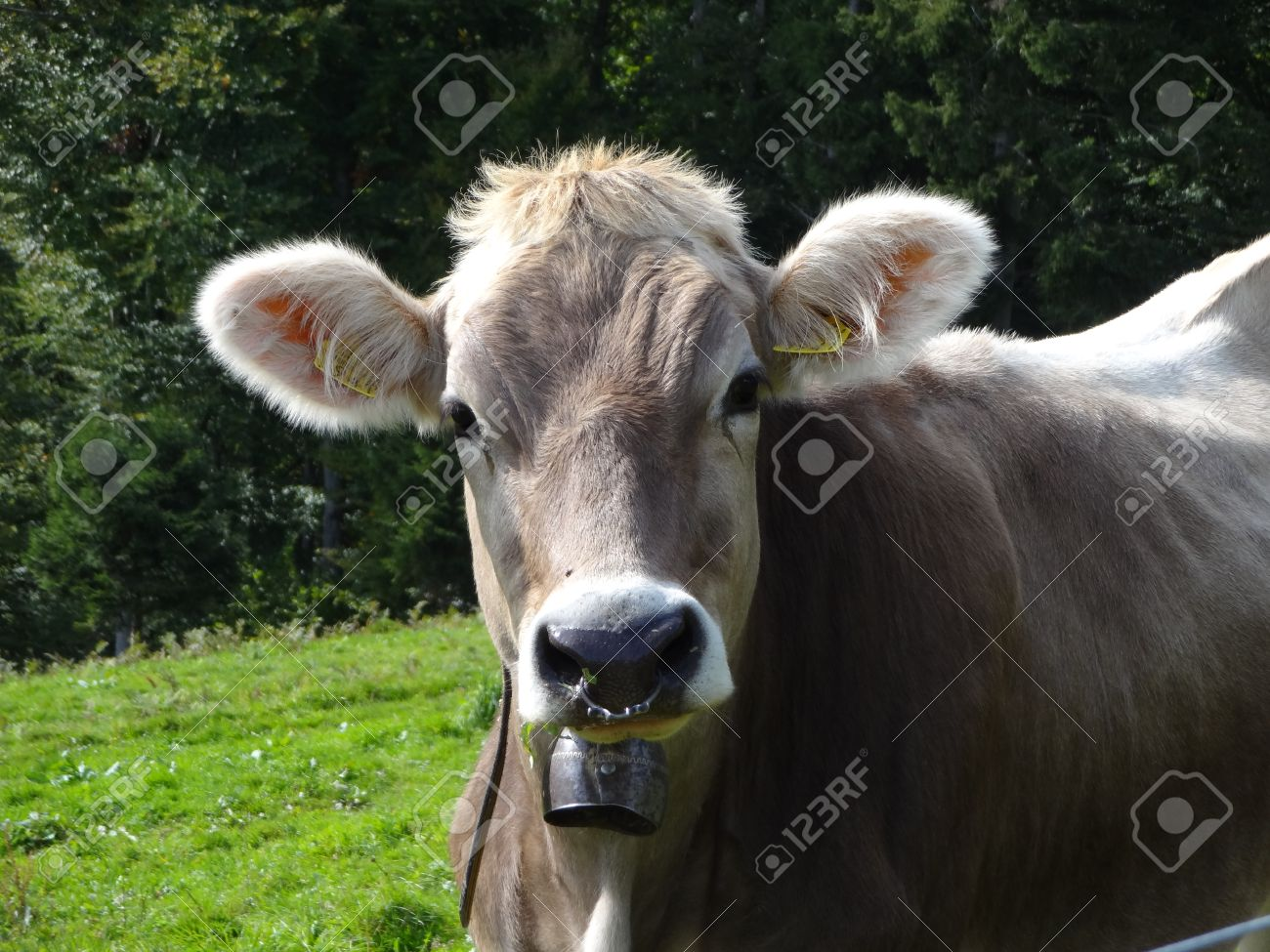 Cattle Portrait With Bell And Nose Ring Stock Photo Picture And