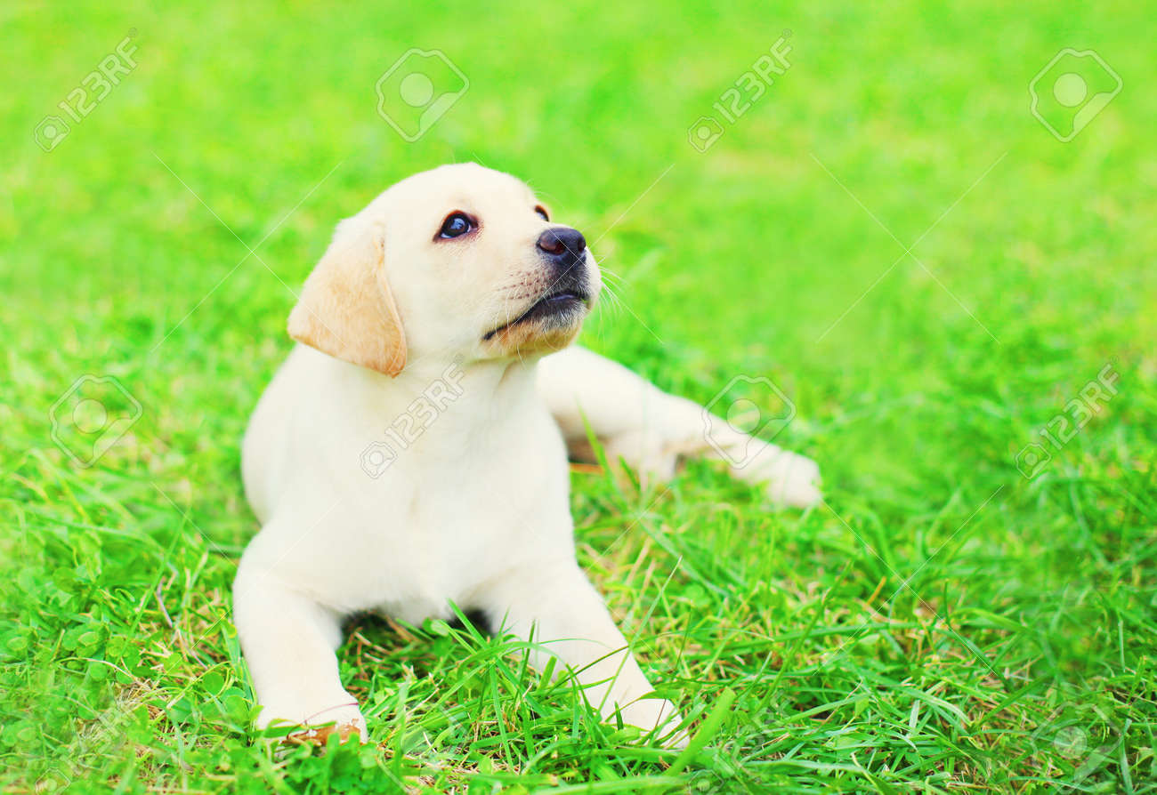 Cute Dog Puppy Labrador Retriever Is Lying Resting On The Grass Stock Photo Picture And Royalty Free Image Image 75968669
